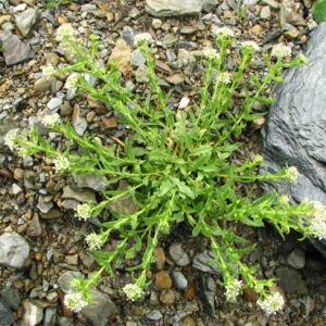 Photographie n°58964 du taxon Lepidium heterophyllum Benth.