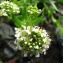 Catherine MAHYEUX - Lepidium heterophyllum Benth.