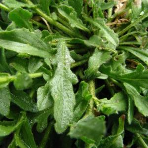 Photographie n°58966 du taxon Lepidium heterophyllum Benth.
