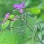 Catherine MAHYEUX - Lunaria annua L.