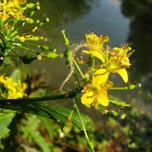 Photographie n°58983 du taxon Rorippa amphibia (L.) Besser