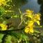 Catherine MAHYEUX - Rorippa amphibia (L.) Besser