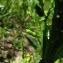 Catherine MAHYEUX - Rorippa palustris (L.) Besser [1821]