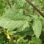 Catherine MAHYEUX - Sinapis arvensis L.