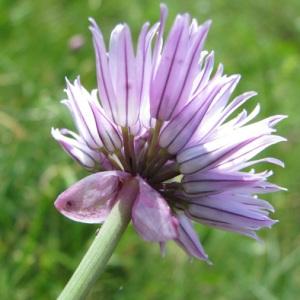 Photographie n°59054 du taxon Allium schoenoprasum L.