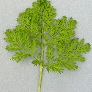 Photographie n°59224 du taxon Artemisia annua L. [1753]
