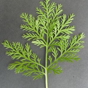 Photographie n°59225 du taxon Artemisia annua L. [1753]