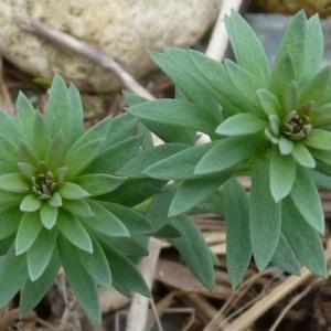- Galium mollugo subsp. erectum Syme [1865]