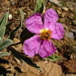 Photographie n°59263 du taxon Cistus albidus L.