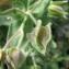 Catherine MAHYEUX - Cistus albidus L.