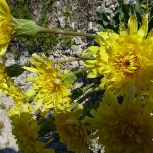Scorzonera austriaca Willd. [1803] (Scorsonère d'Autriche)