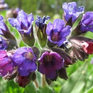 Pulmonaria montana Lej. (Pulmonaire des montagnes)