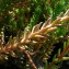 Catherine MAHYEUX - Sedum rupestre subsp. rupestre