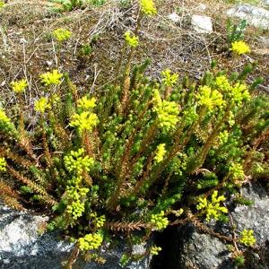 Photographie n°59391 du taxon Sedum rupestre subsp. rupestre
