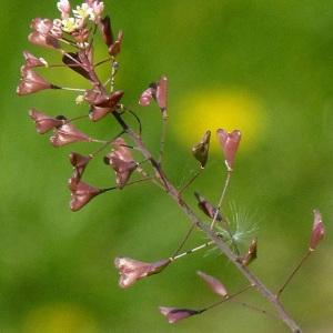 Photographie n°59469 du taxon Capsella rubella Reut. [1854]