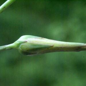 Photographie n°59496 du taxon Lactuca perennis L.