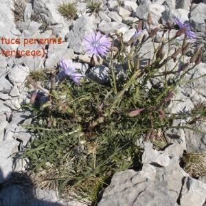 Photographie n°59498 du taxon Lactuca perennis L.
