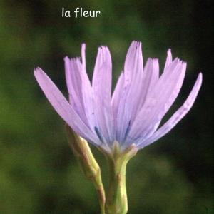 Photographie n°59502 du taxon Lactuca perennis L.