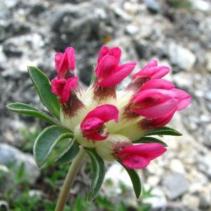 Anthyllis vulneraria subsp. rubriflora Arcang. (Anthyllide à fleurs rouges)