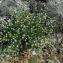 Catherine MAHYEUX - Dorycnium pentaphyllum Scop. [1772]