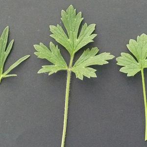 Photographie n°59657 du taxon Ranunculus bulbosus L. [1753]