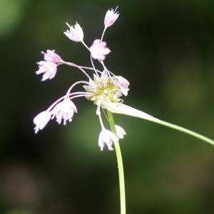 Photographie n°59685 du taxon Allium carinatum L. [1753]