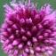 Liliane Roubaudi - Allium carinatum L.