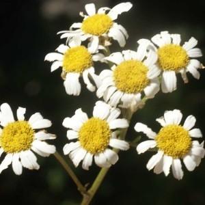 Photographie n°59688 du taxon Tanacetum corymbosum (L.) Sch.Bip. [1844]