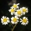 Liliane Roubaudi - Tanacetum corymbosum (L.) Sch.Bip. [1844]