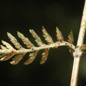 Photographie n°59691 du taxon Tanacetum corymbosum (L.) Sch.Bip. [1844]