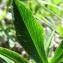 Catherine MAHYEUX - Trifolium alpinum L.