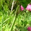 Catherine MAHYEUX - Trifolium pratense L. [1753]