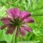 Catherine MAHYEUX - Trifolium resupinatum L.