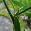 Catherine MAHYEUX - Vicia tenuifolia Roth
