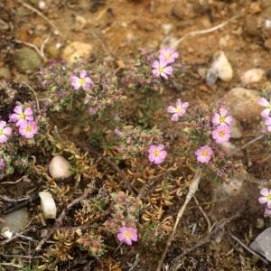 Photographie n°59793 du taxon Frankenia hirsuta L. [1753]