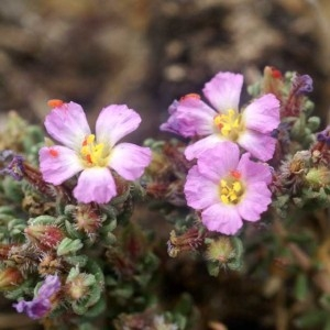 Photographie n°59795 du taxon Frankenia hirsuta L. [1753]
