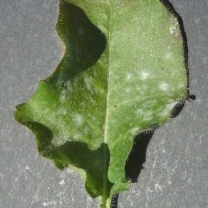 Photographie n°59808 du taxon Hieracium murorum L. [1753]