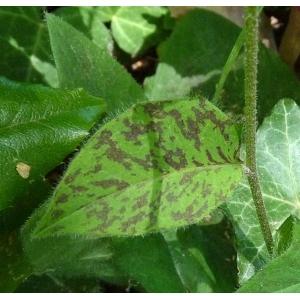 Hieracium maculatum Schrank (Épervière tachée)