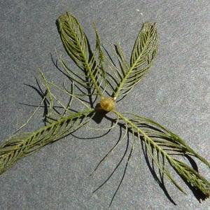 Photographie n°59835 du taxon Myriophyllum spicatum L. [1753]