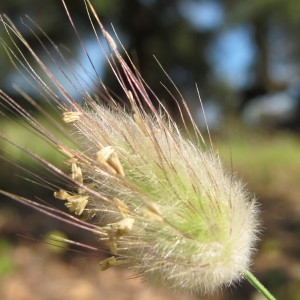 Lagurus ovatus L. (Queue-de-lièvre)