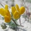 Hugues TINGUY - Lotus cytisoides subsp. conradiae Gamisans