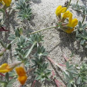 Photographie n°59893 du taxon Lotus cytisoides subsp. conradiae Gamisans