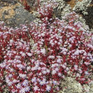 Photographie n°59899 du taxon Sedum caeruleum L.