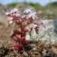Hugues TINGUY - Sedum caeruleum L.
