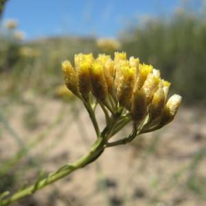 Helichrysum italicum (Roth) G.Don (Immortelle d'Italie)