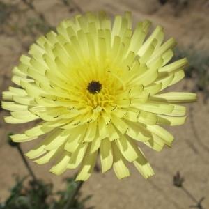 Photographie n°59947 du taxon Urospermum dalechampii (L.) Scop. ex F.W.Schmidt [1795]