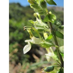 Teucrium flavum subsp. glaucum (Jord. & Fourr.) Ronniger (Germandrée glauque)
