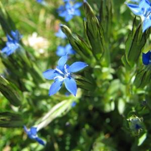Photographie n°60039 du taxon Gentiana nivalis L.