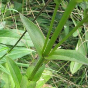 Photographie n°60058 du taxon Swertia perennis L. [1753]