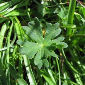 Photographie n°60071 du taxon Geranium cinereum Cav.